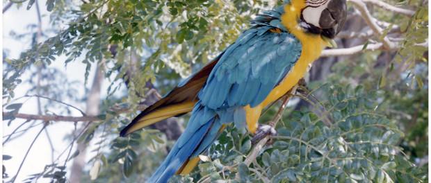 Papagei auf Tobago