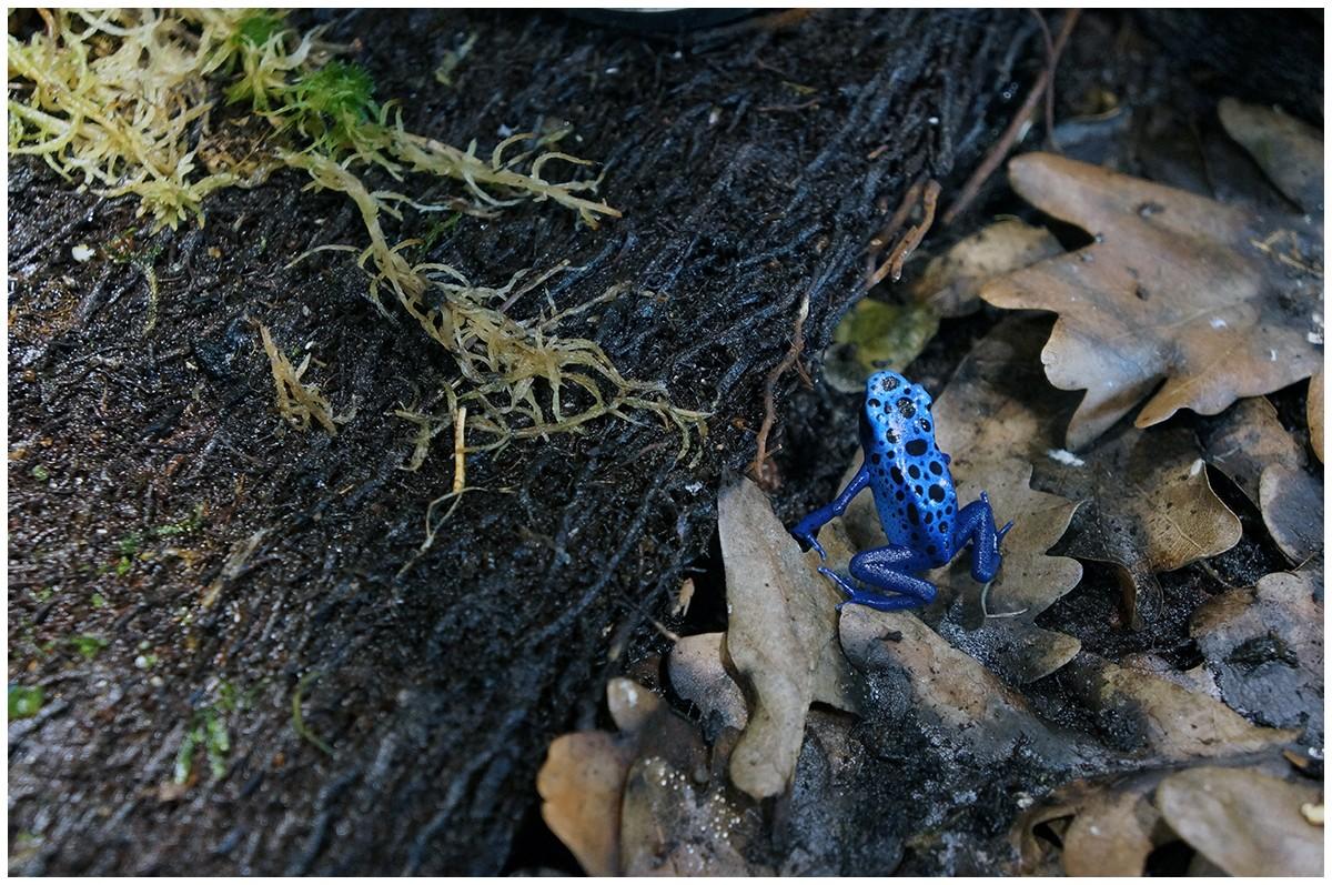 Blauer Baumsteiger