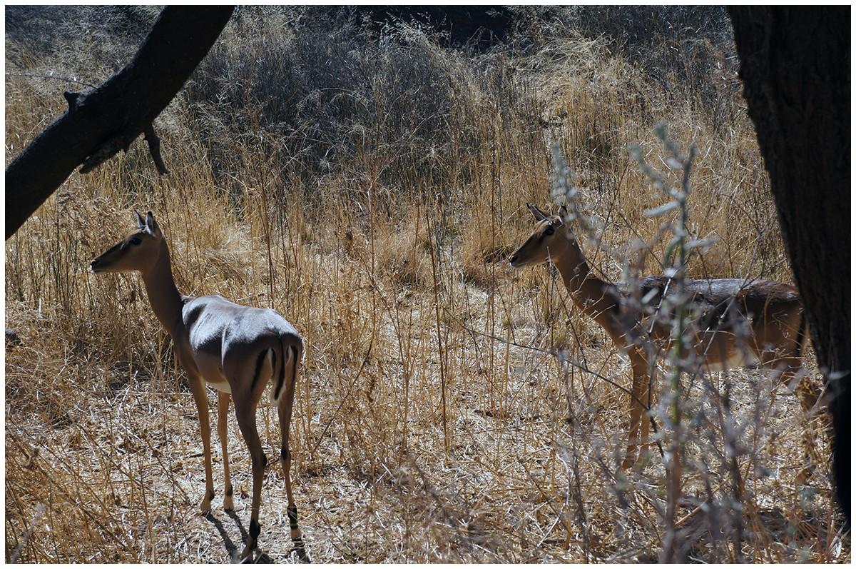 Antilopen in Namibia