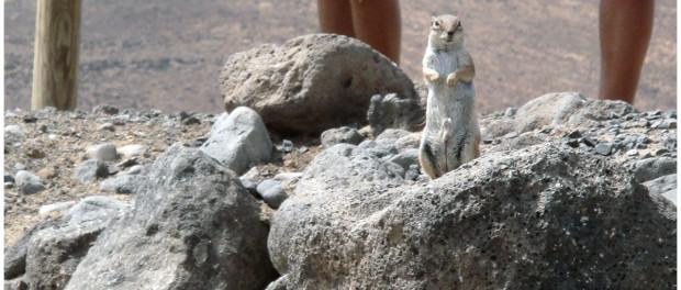 Eichhörnchen auf Fuerteventura