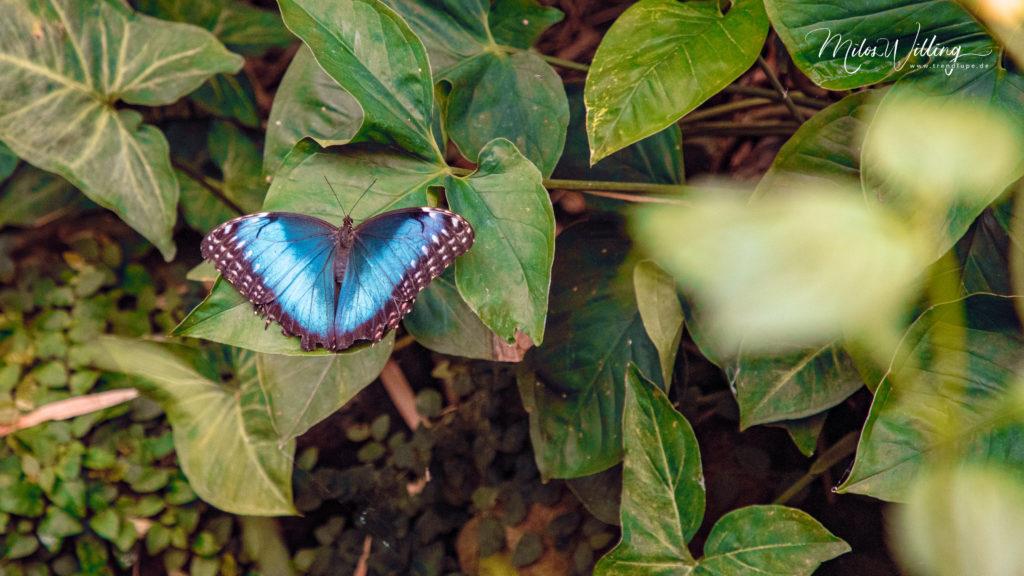 Werbung   Schmetterlinge hautnah erleben – Schmetterlingshaus Maximilianpark Hamm